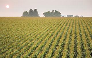 mature-corn-tassles-in-field