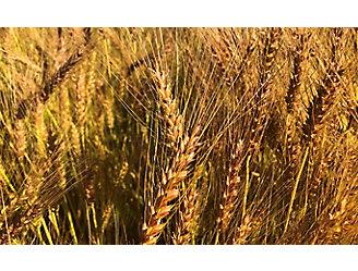 Mature wheat field