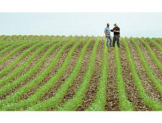 Emergence corn field
