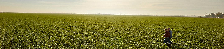 Midseason alfalfa field