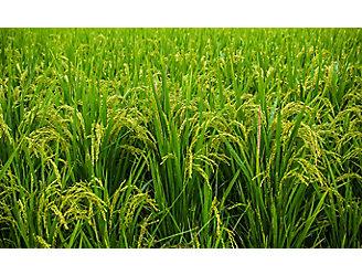 mid-season-rice-field-2_beauty_1_64-1