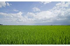 mid-season-rice-field-4_beauty_850pix