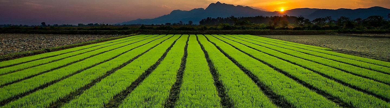 mid-season-rice-field-5_beauty_1-1