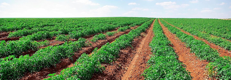 mid-season-tomato-field-1_beauty_2_88-1