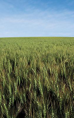 Midseason wheat field
