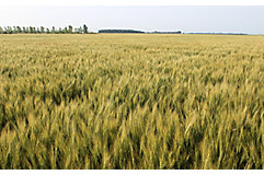 mid-season-wheat-2_beauty_850pix