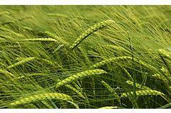 mid-season-wheat-close-up-1_beauty_1_64-1