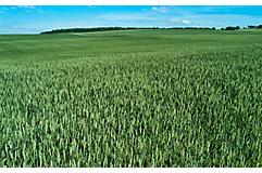 mid-season-wheat-field-3_beauty_850pix