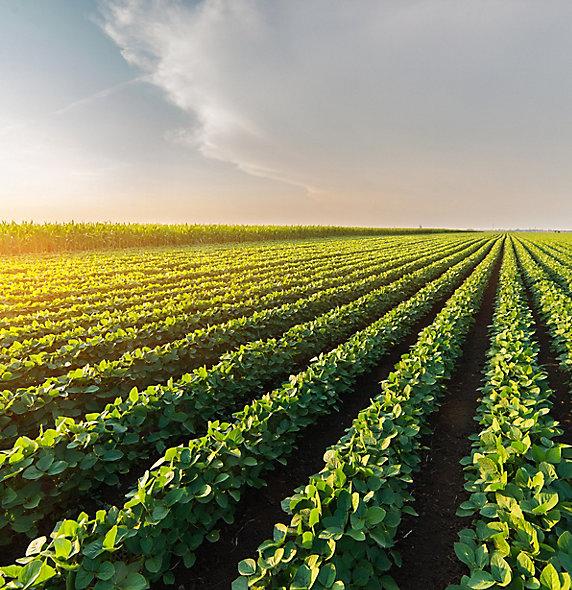 IMG_midseason-soybean-field-1_beauty_097-1.jpg