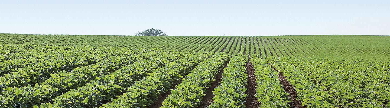mid season soybean field