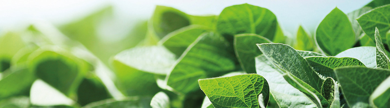 IMG_midseason-soybean-leaves-1_beauty_1-1