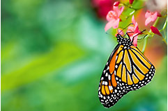 Monarch butterfly sitting on flower petal