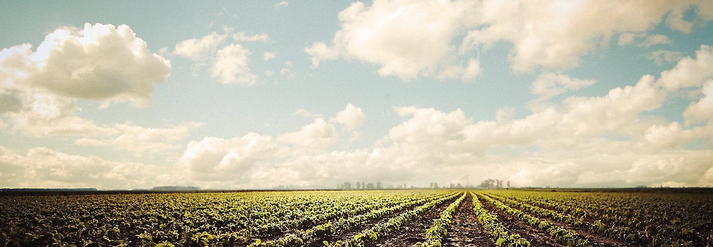 clean soybean field beauty shot