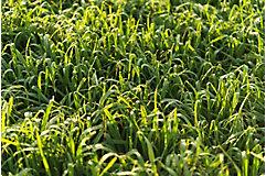 Pasture grass close up