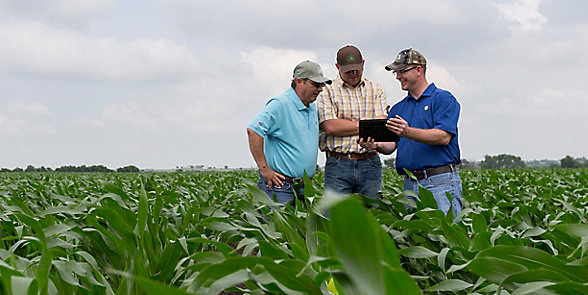 Three men walking in midseason corn field