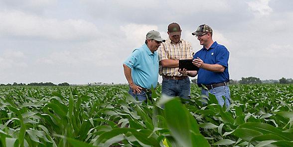 Three men walking in mid season corn field