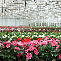 Image of petunias in nursery