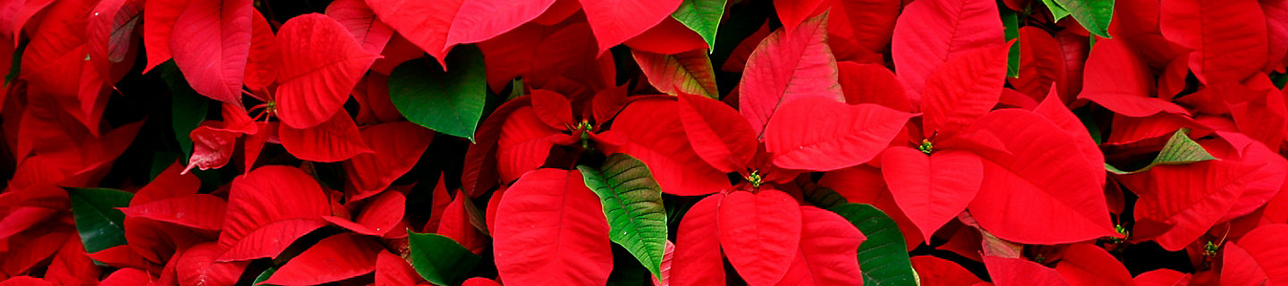 Image of poinsettia