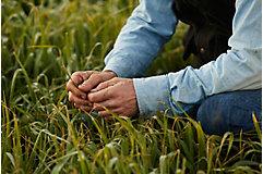 Rancher inspecting grass