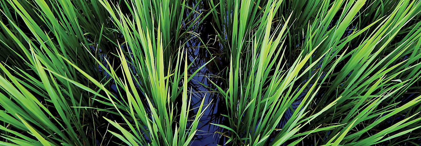 IMG_rice-field-flooded-1_beauty_063-1