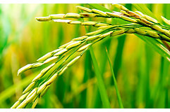 rice-stalk-close-up-1_beauty_850pix