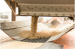 soybean seeds on conveyor