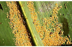 sugarcane aphids
