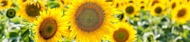 IMG_sunflower_desktop