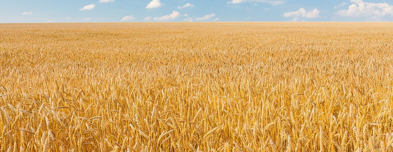 mature wheat crop