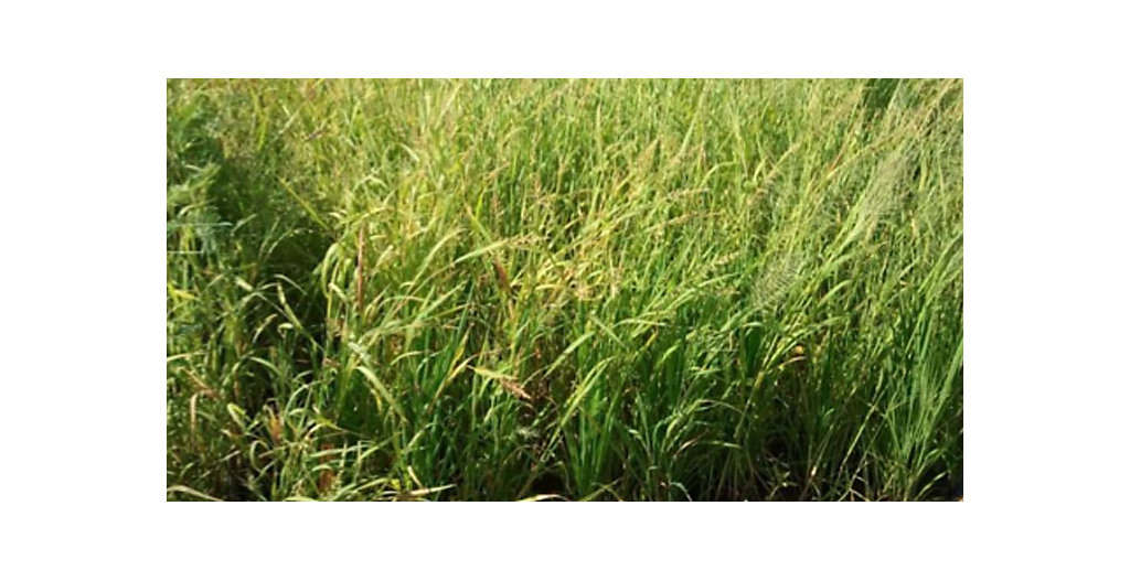 Untreated rice plot