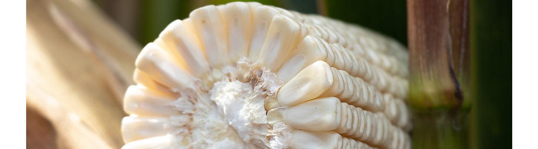 Rendimiento del grano de Maíz sembrado con Lumivia