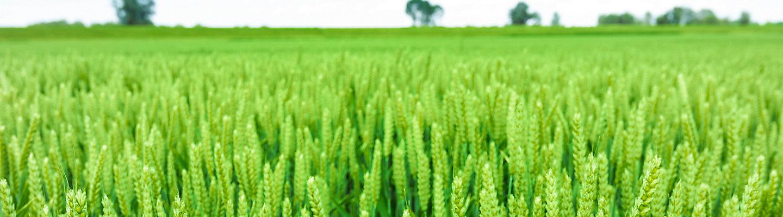 Midseason_Wheat_banner