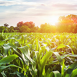 Corn Field with Sunset at Countryside