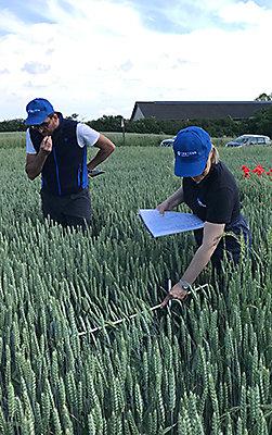 Ihmiset tarkastelevat viljapeltoa