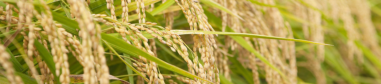 Rice header image