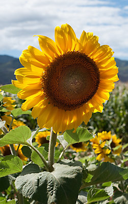 Corteva Hawai`i Sunflower