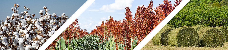 Cotton/Sorghum/Alfalfa
