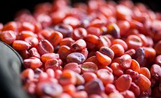 Tratamiento de semillas en maíz