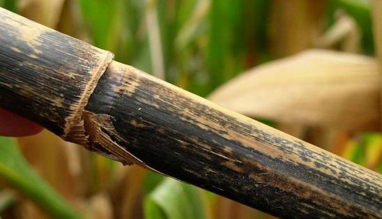 corn stalk with anthracnose stalk rot