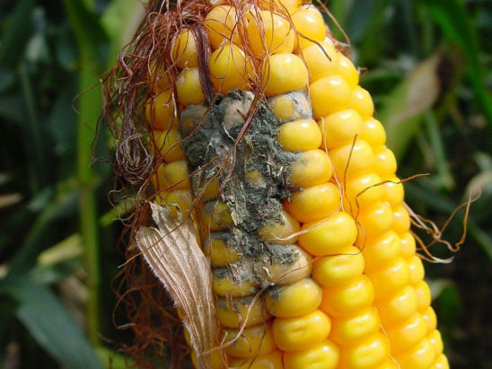 Aspergillus mold growth on ear of corn