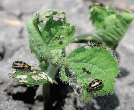 Bean leaf beetle injury to soybeans.