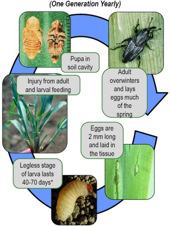 Corn billbug annual life cycle