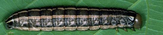 Bronzed cutworm