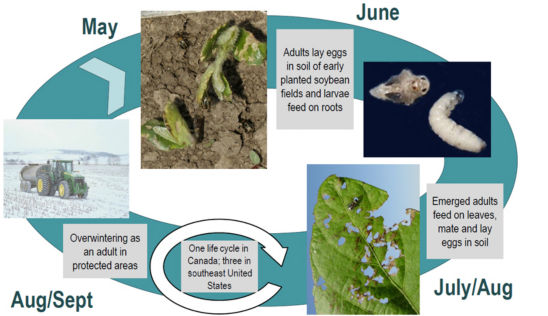 Bean leaf beetle life cycle.