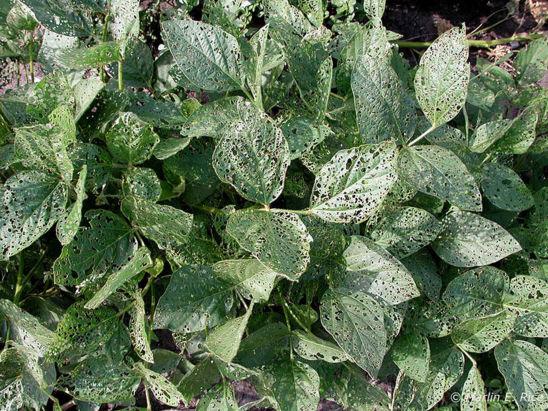 Soybean leaf defoliation from bean leaf beetles.