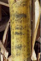 Shiny black blotches on outside of corn stalk are characteristic of anthracnose stalk rot.