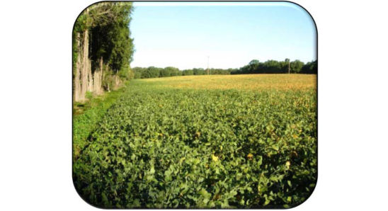 Green soybeans along field edge showing delayed maturity due to BSMB feeding.