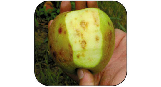 Brown Marmorated Stink Bug damage to an apple