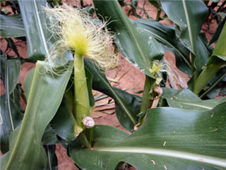 Corn plants snapped at VT.