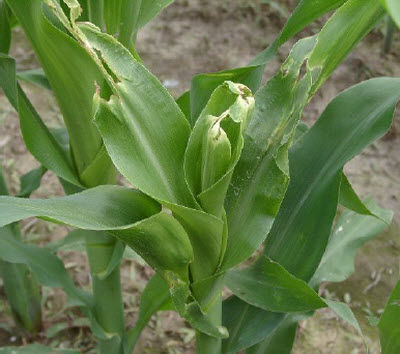 Brown stink bug damage to corn plant.